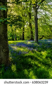 Afternoon sunlight at Bluebells in Forest, Springtime in Lancashire, Forest Of Bowland, England UK