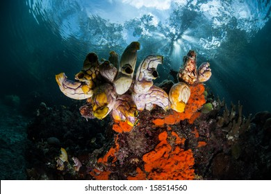 Afternoon sunlight filters through a mangrove canopy and falls on a cluster of tunicates growing on a reef slope in Raja Ampat, Indonesia.
