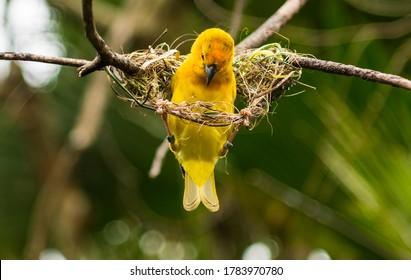 Aftrican Weaver Bird building its nest