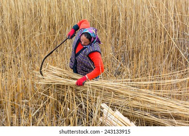 AFYONKARAHISAR,TURKEY - November 9,2013 :  Unidentified woman workers harvest reeds and bulrush from the Lake Eber in Afyon,Turkey and sells them to the matting industry.
