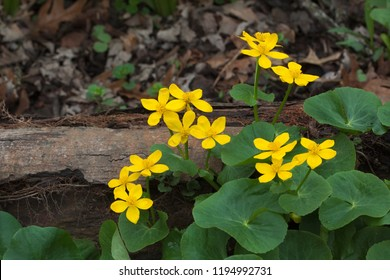 Against a decaying fallen log, the vivid green and gold of a marsh marigold bring life to the dark muddy floor of McClaughry Springs Woods.