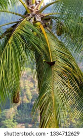 Against a might palm tree a Montezuma Oropendola is a tiny brown and black bird