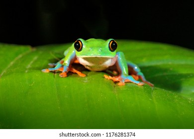Agalychnis annae, Golden-eyed Tree Frog, green and blue frog on leave, Costa Rica. Wildlife scene from tropical jungle. Forest rare amphibian in nature habitat. Dark background.