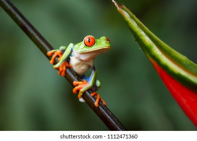 Agalychnis callidryas,tropical Red-eyed tree frog, non-toxic,colorful arboreal frog with red eyes and toes,vibrant green body and blue feets, sitting on diagonal twig against rainforest background.