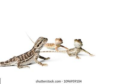 Agama. Baby Bearded Dragons on white background. Pogona vitticeps.