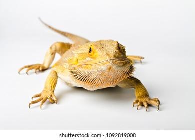 Agama. Bearded dragon isolated on bright background. Pogona vitticeps.