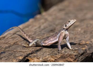 Agama lizard, Northern Serengeti, Tanzania