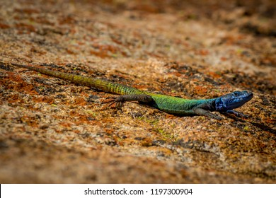 Agama lizzard around Rhodes grave top of the hill world's view,