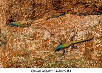 Agama lizzards around Rhodes grave top of the hill world's view,