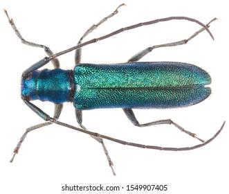 L'Agapanthia intermedia est une espèce de coléoptères de londres de la sous-famille Lamiinae. Vue dorsale du scarabée isolé sur fond blanc.