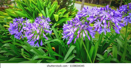 Agapanthus or African lily flowers in the garden.