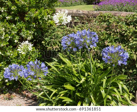 Agapanthus African Lily Lily Nile Country Stock Photo Edit Now
