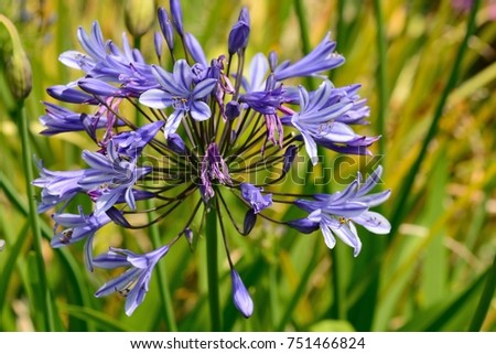 Agapanthus Flower Bloom Lily Nile Stock Photo Edit Now 751466824