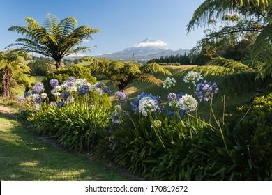 agapanthus flowers with mount taranaki in background, new zealand