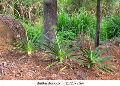 Agapanthus growing on the Atherton Tableland in Queensland, Australia. The Agapantha is a popular garden plant.
