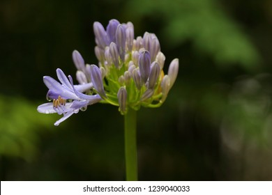 Agapanthus, also known as lily of the Nile