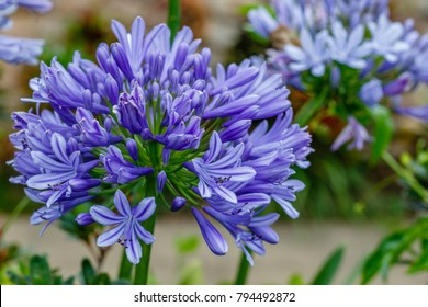 Agapanthus, or Lily of the Nile. Queensland, Australia. Close up.