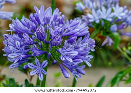 Agapanthus Lily Nile Queensland Australia Close Stock Photo Edit