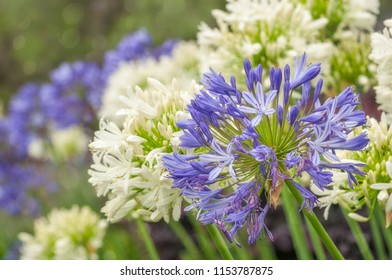 Agapanthus or Lily of the Nile are very hardy plants and drought tolerant. Agapanthus is the flower of summer and its tall blue, mauve or white heads grace gardens across Sydney, Australia.