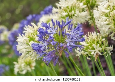 Agapanthus or Lily of the Nile are very hardy plants and drought tolerant. Agapanthus is the flower of summer and its tall blue, mauve or white heads grace gardens across Sydney.