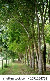 Agar wood tree