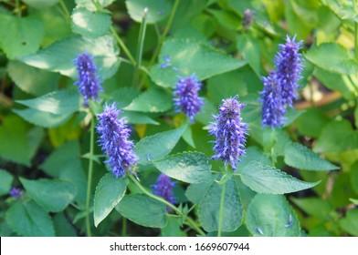 Agastache foeniculum or anise hyssop plant