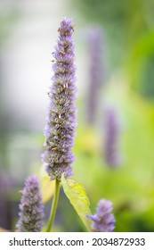 Agastache foeniculum in flower with ripening seeds