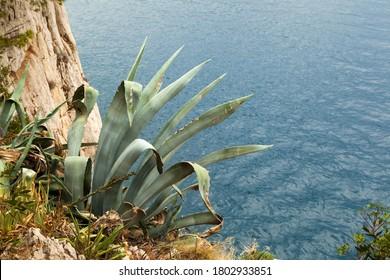 Agava by the Mediterranean sea