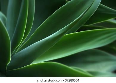 agave, acientific name macroacantha, family Agavaceae