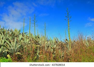 Agave americana and blue sky