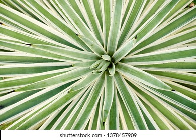 Agave Angustifolia or Vivipara Close-up Image. Stiffly Erect Leaves with Moderately-spaced Spines of Most Species have Sharp Marginal Teeth. Extremely Terminal and are Very Fibrous Inside