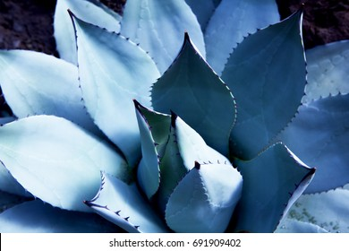 Agave (Asparagaceae) cactus plant, in light and shadow. Shallow depth of field.  Agaves are succulents,  which form a rosette shape, with most species ending in a sharp terminal spine.