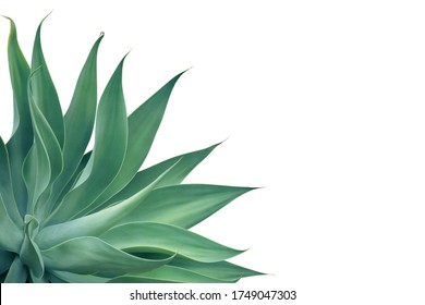 Agave attenuata, Fox Tail Agave Plant Isolated on White Background