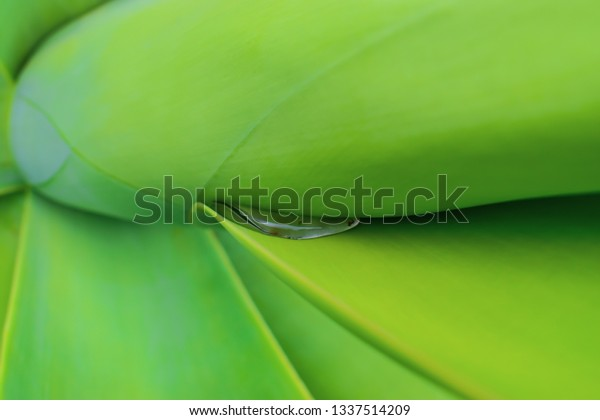 """Agave attenuata is a species of agave sometimes known as the """"lion's tail""""."""