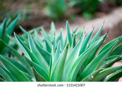 Agave cactus in natural setting, Bhopal India
