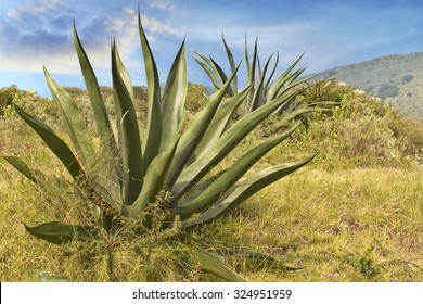 Agave Century plant Maguey cactus in natural landscape State of Mexico near Mexico City