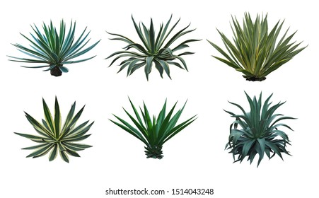 Agave collection isolated on white background.,Agave plant tropical drought tolerance has sharp thorns.