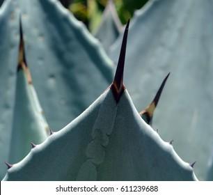 Agave cupreata, plant, flora, Mexico