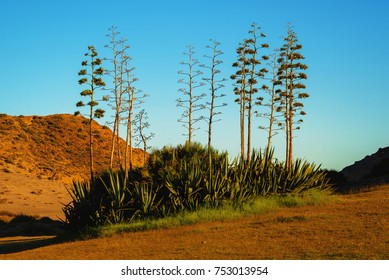 Agave deserti (desert agave, mescal, century plant or maguey) is an agave native to desert regions in southern California, Arizona, and Baja California
