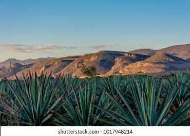 Agave field oaxaca mezcal tequila plant