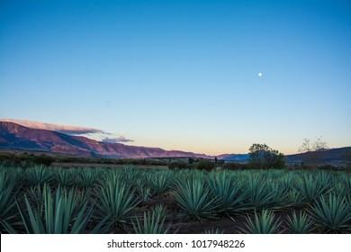 Agave field Oaxaca mezcal tequila
