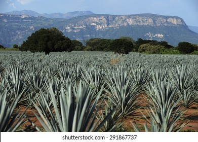 Agave field for Tequila production, Jalisco, Mexico