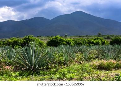 Agave fild with  plants, espadin, tequila mezcal mexico oaxaca