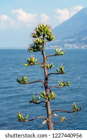 Agave Flower at Lake Maggiore in Switzerland