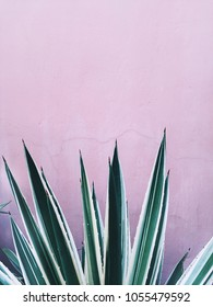 Agave growing in pink wall background close up