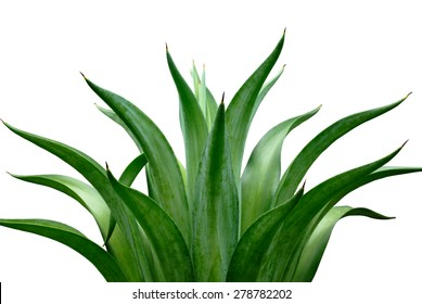 agave isolated on white background