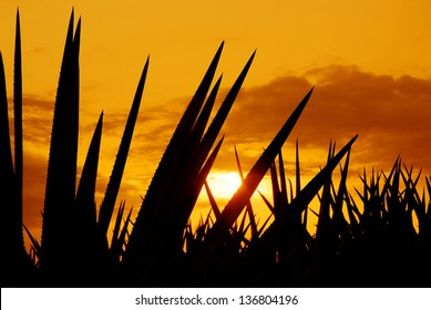 Agave landscape sunset