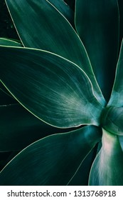 Agave leaves close up shot in low key. Dark background texture