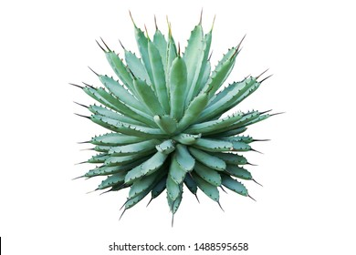 Agave macroacantha, Black Spined Agave Plant Isolated on White Background