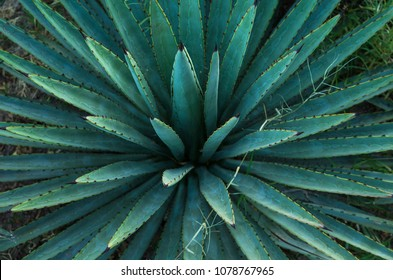 Agave or Maguey plant.